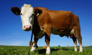 Cow - dairy foods may protect against type 2 diabetes